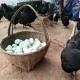 秦岭高山乌鸡蛋野外散养跑山乌鸡蛋新鲜绿壳鸡蛋30枚包邮